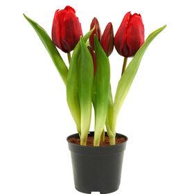 FLORISTA Tulpen Topf, rot, 24cm