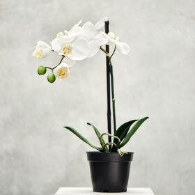 FLORISTA Orchideen, creme, 39cm